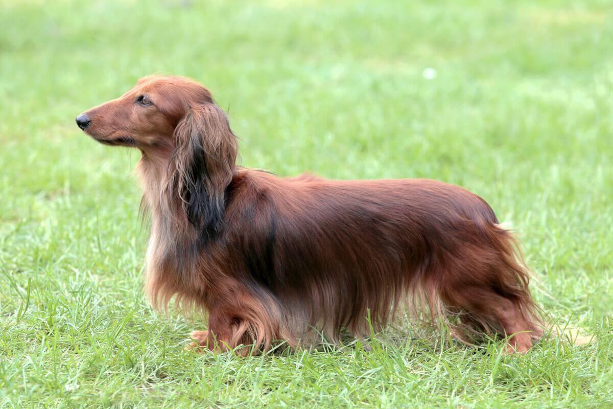 Teckel - caracteristici, îngrijire, sănătate ( Enciclopedia câinilor )