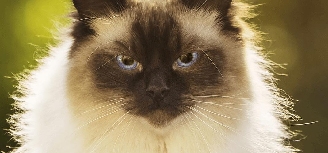 Pisicile Ragdoll, superbe si mandre, cu ochi hipnotizanti. Vezi daca aceste pisici adorabile sunt pentru tine.