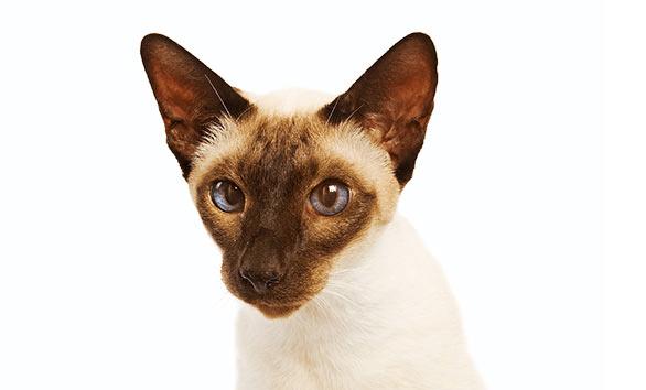 Caracteristicile celei mai vorbarete rase de pisici, caracter, sanatate, ingrijire. Descoperiti siamezele!