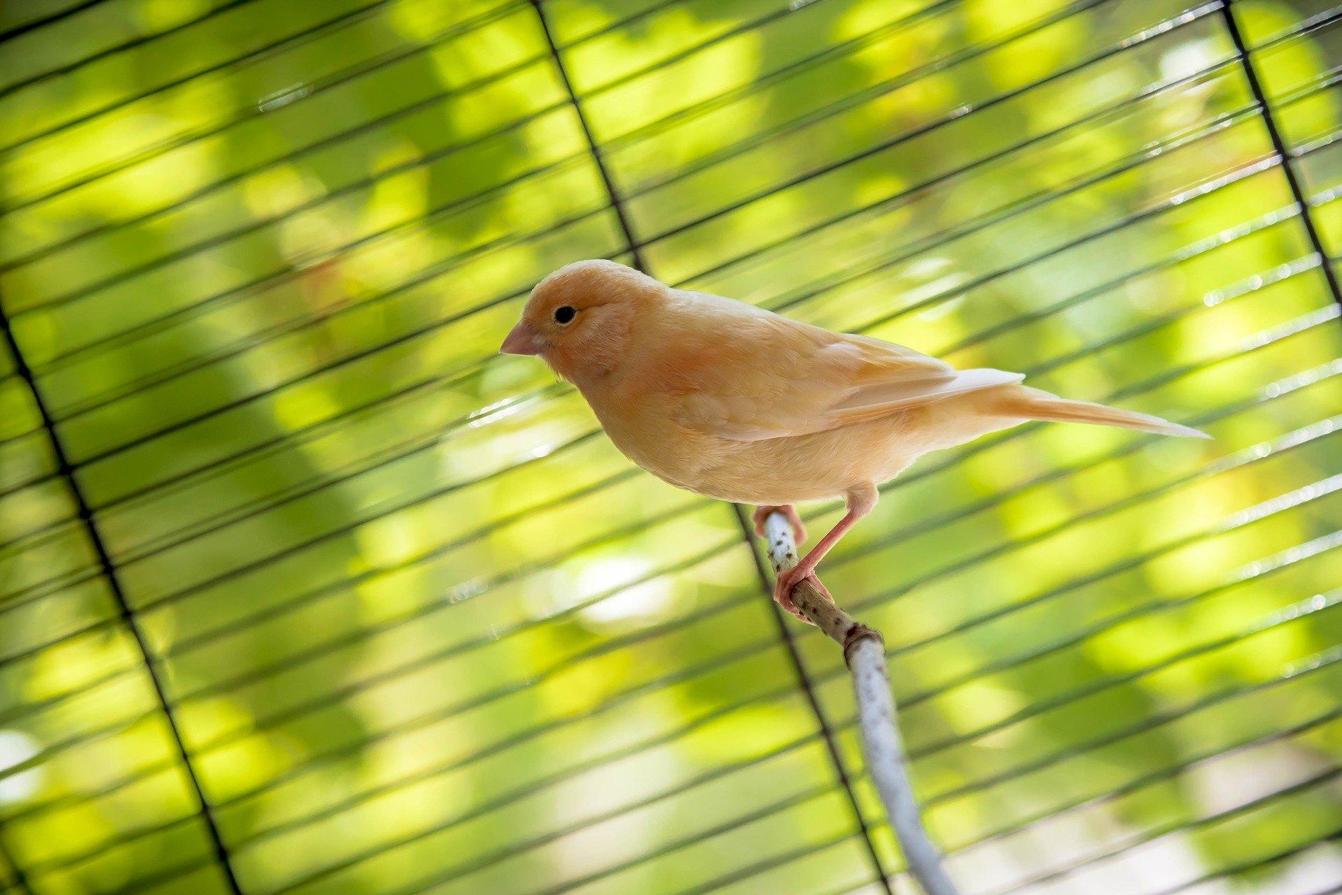 Toti canarii canta? Ce conditii trebuie sa-i asiguram canarului care traieste in casa? Cititi si aflati cele mai importante informatii.