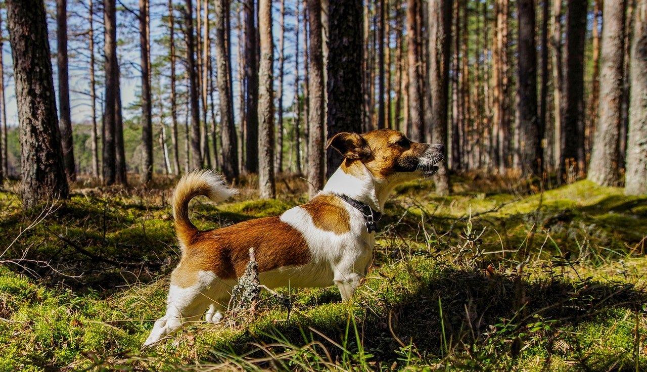 Activ, incapatanat, cu o natura vesela si vioaie – cum este un Jack Russel Terrier? Cititi cele mai importante informatii depsre rasa.