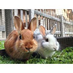 Dieta iepurilor trebuie sa furnizeze toate substantele nutritive. Pentru iepuri, cele mai importante sunt fibrele.