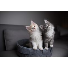 Organizatia Mondiala a Sanatatii a confirmat ca pisicile nu transmit coronavirusul de tip nou SARS-CoV-2 si nu se pot molipsi.