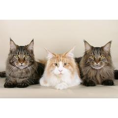 Una dintre cele mai mari pisici domestice, adica pisicile Maine Coon au extrem de multi adepti. Sunt la mare cautare, insa cum sa avem grija de Maine Coon corect?