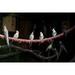 Papagalul nimfa nu suporta singuratatea – trebuie sa aiba mereu alaturi un alt reprezentant al speciei sale.